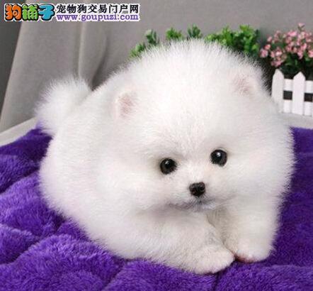 玉溪售相当可爱的博美犬宝宝纯种健康犬舍直销质量保障