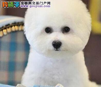 漂亮可爱的卷毛比熊宝宝接受预定欢迎选购