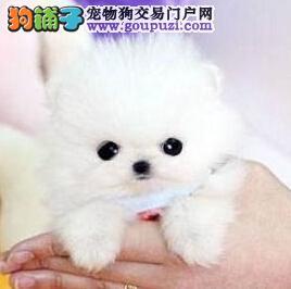 太原出售韩系纯白博美犬方体爆毛短嘴纯种健康签合同
