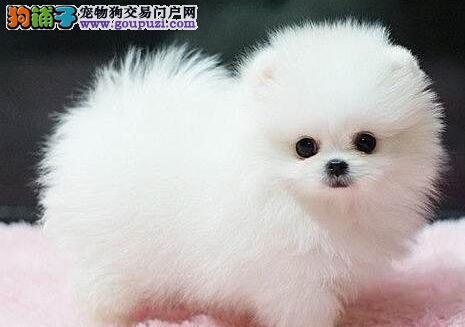 昆明狗场专业繁殖出售大毛量的博美犬 超小体好品相3