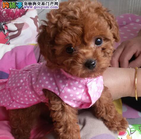 上海家养实拍,微小茶杯,深红泰迪全宝宝转让,公母都有