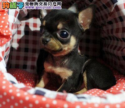 超小体型墨西哥血统的大连吉娃娃幼犬找新家 签订协议