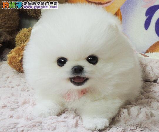 大连正规犬舍出售公母齐全的博美犬 多只供您选购