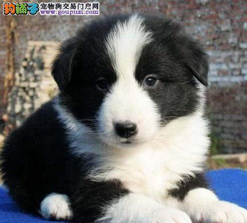 深圳纯种边境幼犬,大毛量好脸型 保证健康纯种可送货