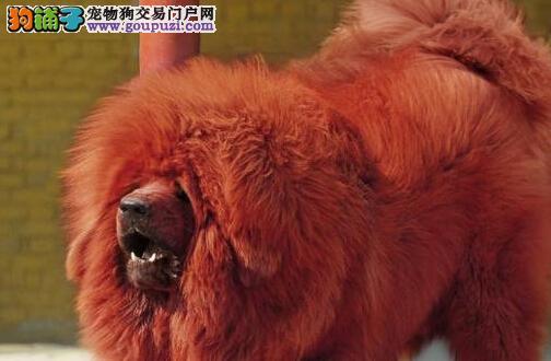CKU认证高大凶猛原生态藏獒银川热销 颜色非常齐全哦