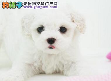CKU犬舍认证遵义出售纯种贵宾犬金牌店铺有保障