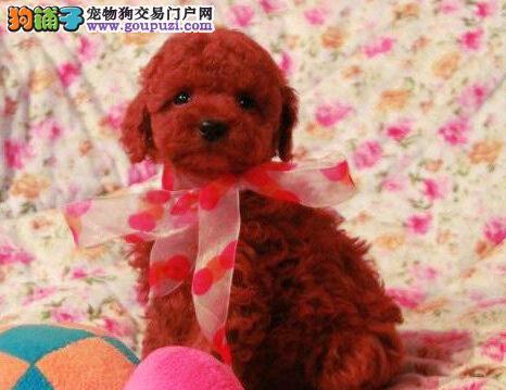 宿州售纯种小体泰迪犬毛量大可造型纯种小贵宾三针全1