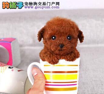 宿州售纯种小体泰迪犬毛量大可造型纯种小贵宾三针全4