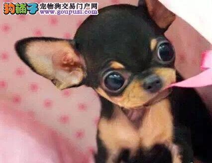 株州自家繁殖的纯种吉娃娃找主人赠送全套宠物用品