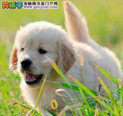 出售自家温顺忠诚稳重的兰州金毛犬 完美体型1