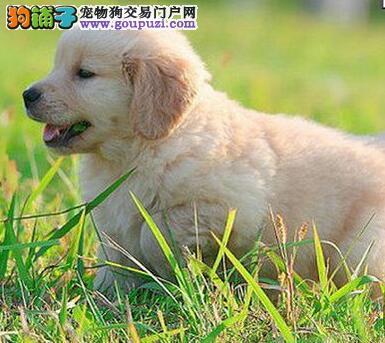 出售自家温顺忠诚稳重的兰州金毛犬 完美体型3