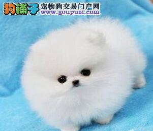 锦州低价售哈多利高端球体博美犬毛好纯种健康质量保证