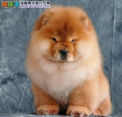 出售纯种松狮、血统纯正包品质、提供养狗指导