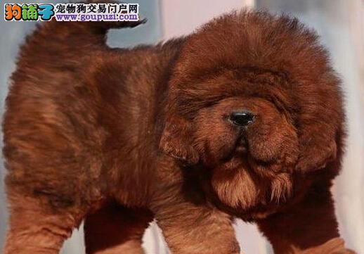 封知名犬舍出售多只赛级藏獒全国当天发货
