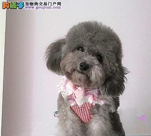 家养多只青岛贵宾犬宝宝出售中微信看狗真实照片包纯