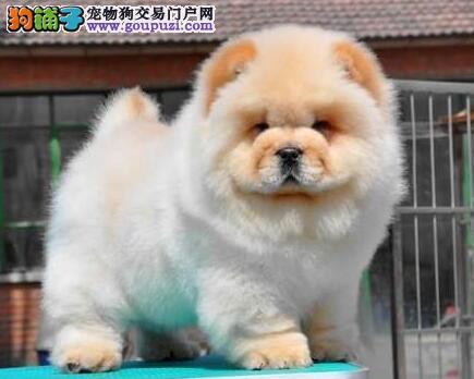 上海售赛级松狮 肉嘴松狮犬 保纯种保健康可签协议