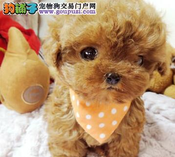 热销多只优秀的长沙纯种泰迪犬幼犬当日付款包邮3