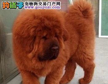直销狮王血系藏獒 欢迎来杭州犬舍选购价格可谈