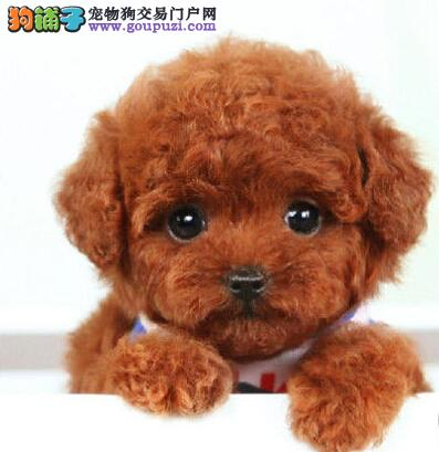 深圳基地直销纯种泰迪犬公母均有可挑选1