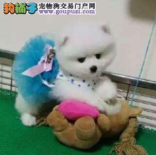 北京家庭繁殖哈多利博美犬 公母都有可以看狗父母