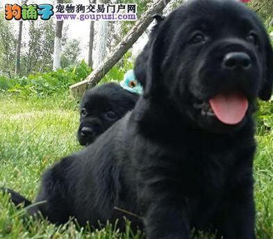 武汉顶级拉布拉多幼幼犬 实物拍摄包纯种健康可签协议