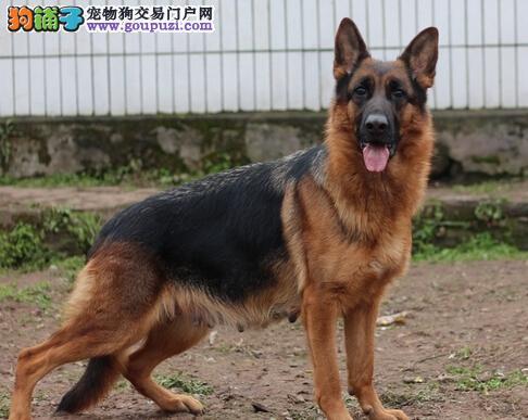 诚信犬舍出售纯种德国牧羊犬警犬黑背纯种健康包疫苗