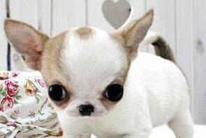 小而可爱属于是极品中的极品 机灵古怪的小吉娃娃