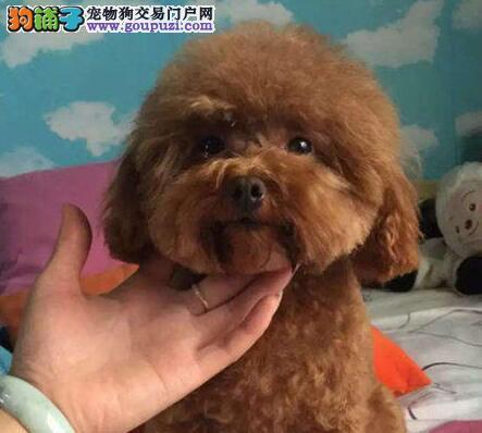 泰迪犬幼犬出售中,纯度第一价位最低,购犬可签协议