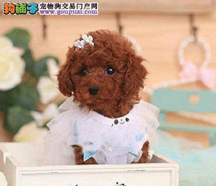 极品韩系南宁泰迪犬促销出售 有血统证书可上门挑选2