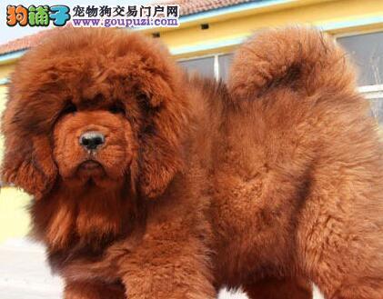 知名犬舍出售多只赛级藏獒保证冠军级血统
