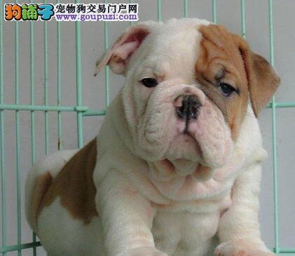 南昌繁殖基地出售超高品质的斗牛犬 质量三包可送货2