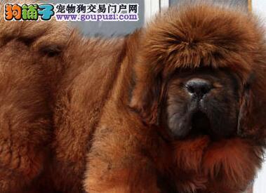 纯种大狮头的桂林藏獒幼崽火爆热卖中 品质绝佳品相好