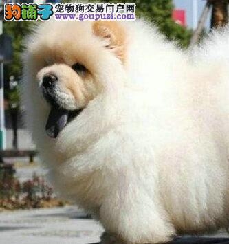 上海售松狮犬保纯种健康 多窝挑选可送货、签协议