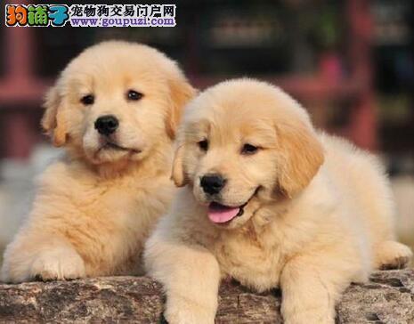 杭州买纯种金毛犬必选 签订质保协议纯种保终身可送