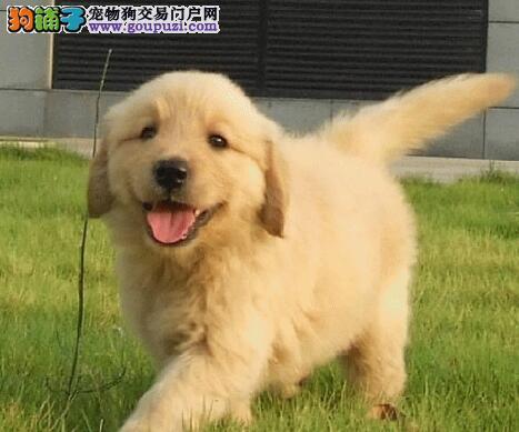 金黄色的南京金毛犬求好心人收留 喜欢的朋友不要错过1