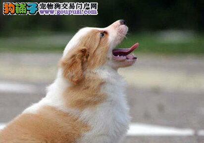 郑州出售极品边境牧羊犬幼犬完美品相终身质保终身护养指导