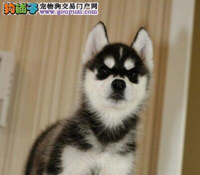昆明CKU犬舍出售纯种哈士奇雪橇犬 可刷卡可送货上门