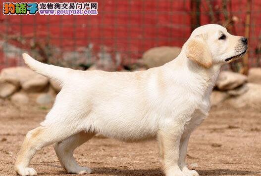 安康售赛级拉布拉多犬 家养纯种宠物级拉布拉多犬转让