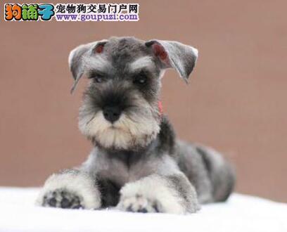 出售高品质精品的雪纳瑞幼犬 太原的朋友上门看种犬