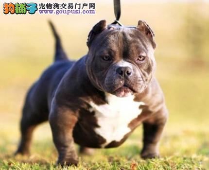 纯种赛级美国恶霸犬 纯种健康品相优良 可签保障协议