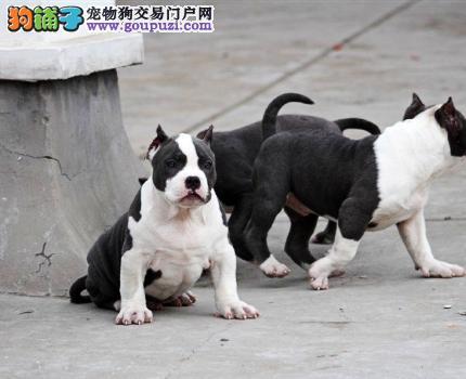 长沙热销美国恶霸犬颜色齐全可见父母质量三包多窝可选3