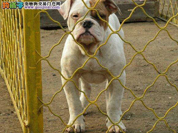 CKU认证犬业极品美国斗牛犬出售