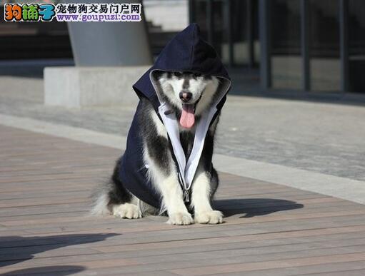 最好从小狗挑起 购买阿拉斯加雪橇犬的重点