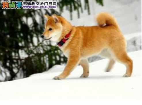 选购建议与指导 选购秋田犬的注意要点