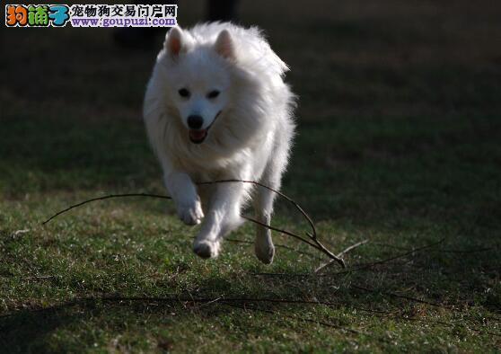 健康标准的银狐犬的选购特征有哪些