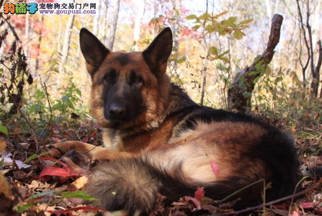 选购知识详解 德国牧羊犬的犬种特征与挑选标准