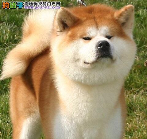 带你正确的去挑选优秀的秋田犬