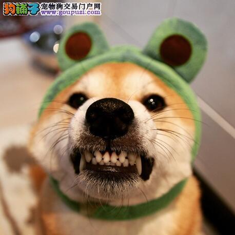 买与不买 告诉你什么样的秋田犬不适宜购买