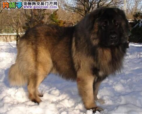 筛选优秀狗狗 高加索犬的挑选方法与繁殖标准