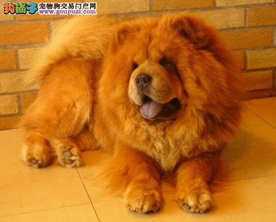 松狮犬身体部位的重要特征与挑选方法